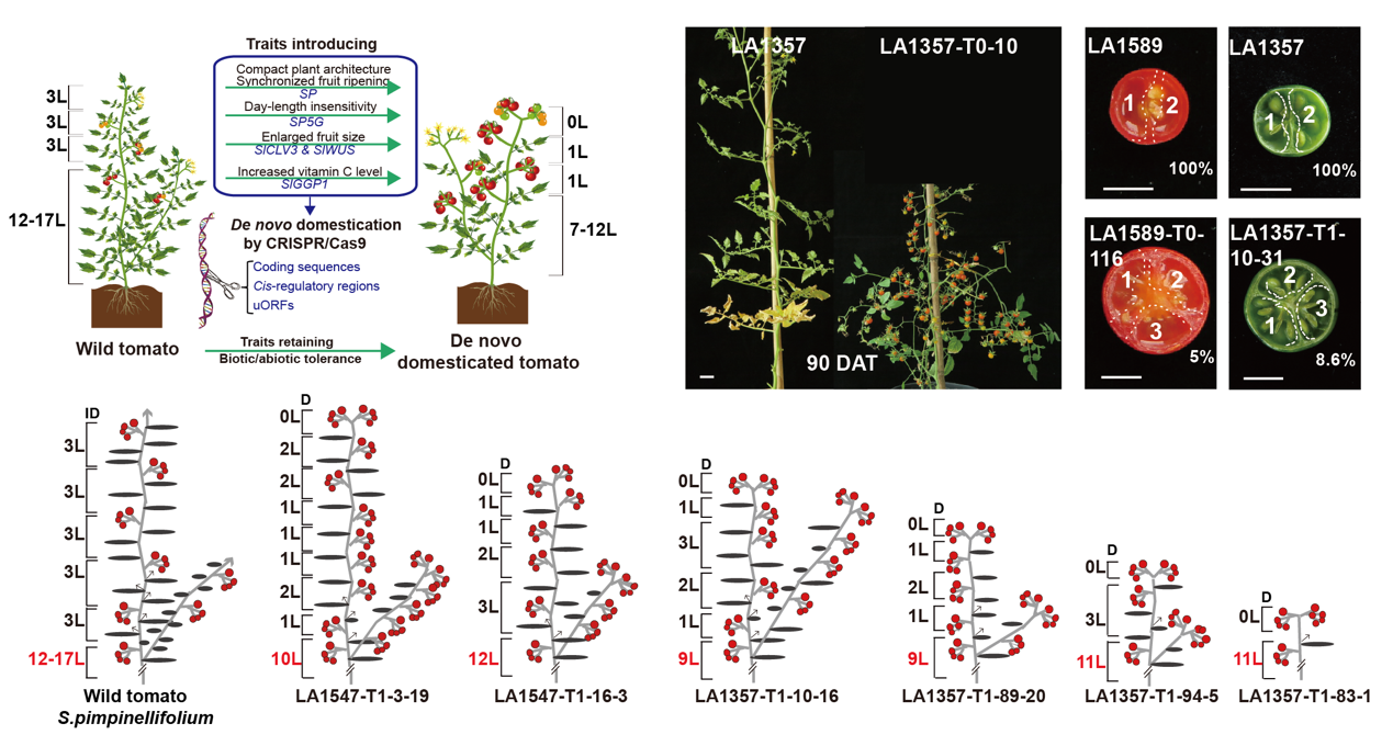 Figure 1 Genome editing introduces desirable plant architecture, day-length insensitivity flowering and enlarged fruit size traits into wild tomatoes in one step.