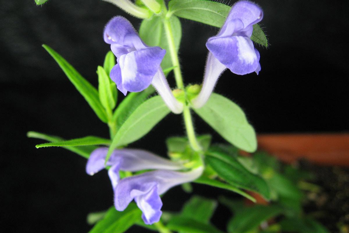 Scutellaria-flowersmall